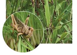 Уникальные биопестициды для борьбы с саранчой