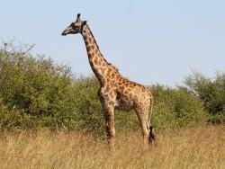 Международная группа ученых улучшила сборку генома исчезающего вида жирафа
