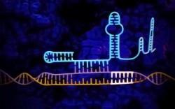 CRISPR первого типа применили в редактировании генома