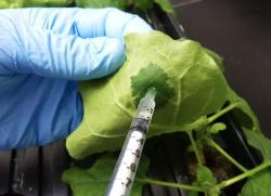 Разработан способ быстро находить вакцины для растений