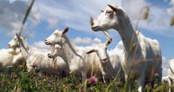 Ставропольские ученые исследуют геном карачаевских коз для совершенствования породы