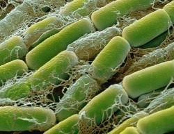 Специалисты Курчатовского института запатентовали бактерию, обладающую природной пестицидной активностью