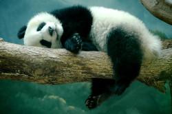 В Китае планируют клонировать панд