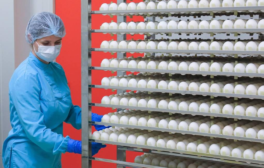 """RYAZAN REGION, RUSSIA - SEPTEMBER 11, 2019: Production of quadrivalent flu vaccine Ultrix Quadri in a room for processing chicken embryos at the Fort pharmaceutical plant; before being deactivated, flu strains are grown inside of an egg. The Fort plant is a manufacturer for the Nacimbio pharmaceutical holding of Russia's Rostec State Corporation; Nacimbio was founded in 2013 to provide for import substitution in Russia's healthcare system. Ultrix Quadri is active against two types of virus A (A(H1N1), A(H3N2)), as well as both lineages of virus B; the vaccine was registered with the Russian Healthcare Ministry in July 2019. Alexander Ryumin/TASS Ðîññèÿ. Ðÿçàíñêàÿ îáëàñòü. Ïðîèçâîäñòâî ÷åòûðåõâàëåíòíîé âàêöèíû îò ãðèïïà """"Óëüòðèêñ Êâàäðè"""" íà ôàðìàöåâòè÷åñêîì çàâîäå """"Ôîðò"""" â öåõå ïåðåðàáîòêè êóðèíîãî ýìáðèîíà. Âíóòðè ÿéöà âûðàùèâàþò øòàììû ãðèïïà ïåðåä ïîñëåäóþùåé äåàêòèâàöèåé. Çàâîä """"Ôîðò"""" ÿâëÿåòñÿ ïðîèçâîäñòâåííîé ïëîùàäêîé ôàðìàöåâòè÷åñêîãî õîëäèíãà ÃÊ Ðîñòåõ """"Íàöèìáèî"""", ñîçäàííîãî â 2013 ãîäó äëÿ îáåñïå÷åíèÿ íåçàâèñèìîñòè Ðîññèè îò èìïîðòà â ñèñòåìå çäðàâîîõðàíåíèÿ. Íîâàÿ âàêöèíà """"Óëüòðèêñ Êâàäðè"""" çàùèùàåò îò ÷åòûðåõ ðàçíîâèäíîñòåé ãðèïïà – À(H1N1), A(H3N2) è äâóõ øòàììîâ ãðóïïû Â. èþëå 2019 ãîäà îíà ïðîøëà ðåãèñòðàöèþ â Ìèíçäðàâå. Àëåêñàíäð Ðþìèí/ÒÀÑÑ"""