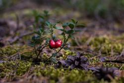Исследование: клюква, чай и арахис относятся к природным ГМО-растениям