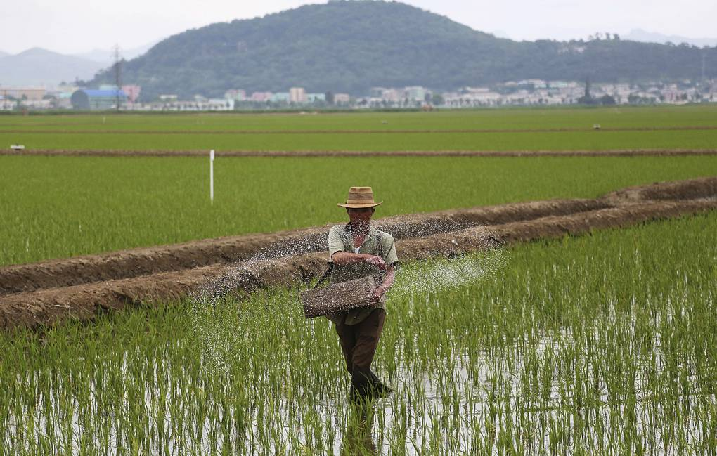 FILE - In this June 13, 2018, file photo, a farmer spreads fertilizer on a rice field in Sariwon, North Korea. The United States is trying to ensure that humanitarian aid doesn't face unnecessary obstacles in getting to North Korea, where the U.N. says around 10 million people need food and other aid and about 20 percent of children are stunted because of malnutrition. (AP Photo/Dita Alangkara, File)