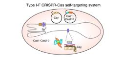 Определены молекулы-предшественники, играющие важную роль в процессе адаптации защитных систем бактерий CRISPR/Cas