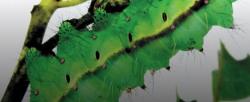 Шелкопряд производит белок, который хотят использовать для печати органов