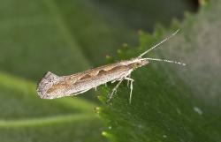 Генетически модифицированную моль выпустили в природу