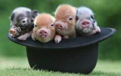 В Китае провели самое интенсивное из возможных генетическое редактирование свиней