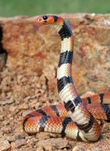 Ядовитую железу змей впервые вырастили в лаборатории