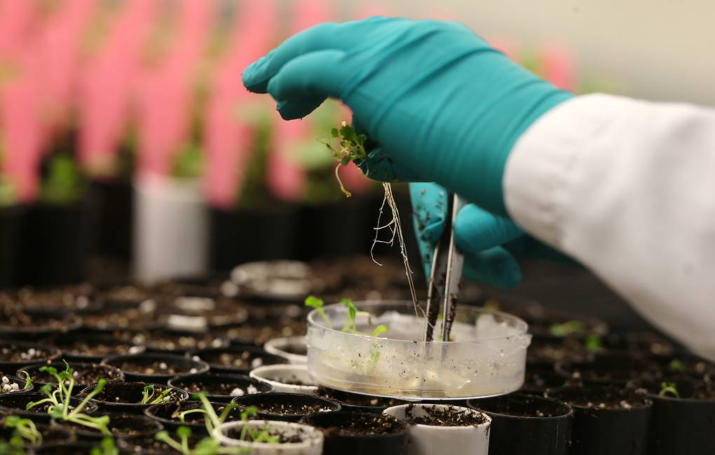 A research technician working on the development of clubroot-resistant canola transfers plants in a growth room at Monsanto Canada's plant breeding centre in Winnipeg, Manitoba, Canada February 12, 2018. Picture taken February 12, 2018. REUTERS/Shannon VanRaes