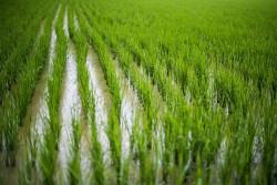 ГМО-СОРТ «ЗОЛОТОЙ РИС» ОДОБРИЛИ ДЛЯ ПИТАНИЯ, НО НИКТО НЕ ХОЧЕТ ЕГО ВЫРАЩИВАТЬ