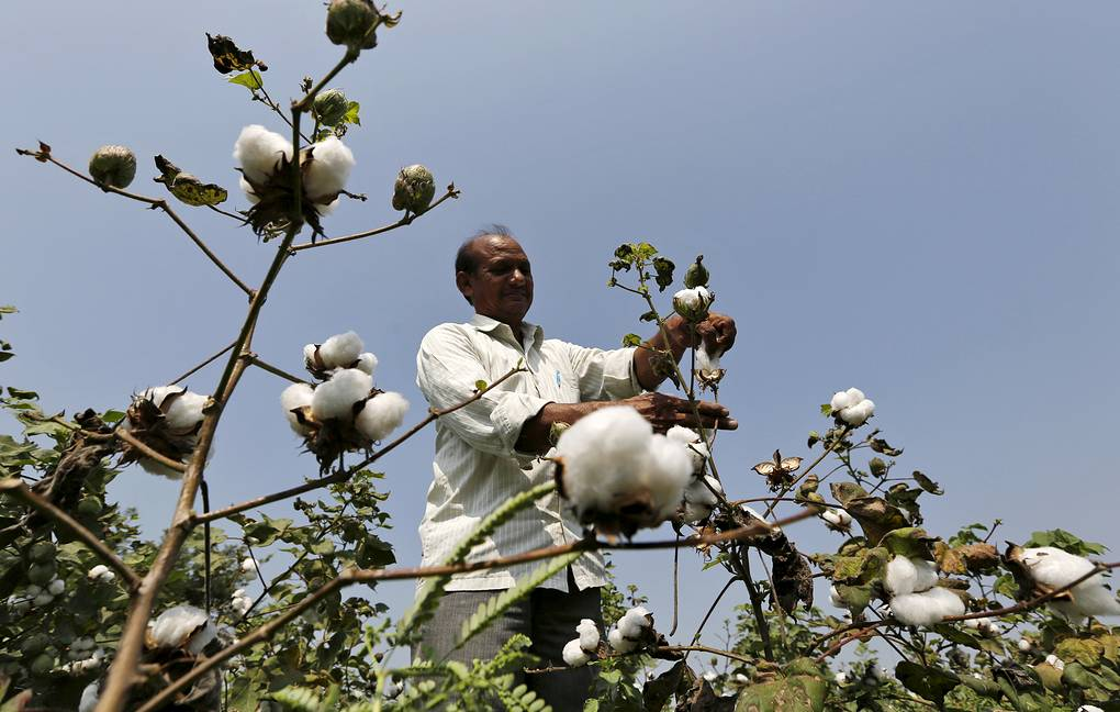 A farmer harvests cotton in his field at Rangpurda village in the western state of Gujarat, India, October 20, 2015.  REUTERS/Amit Dave/File Photo