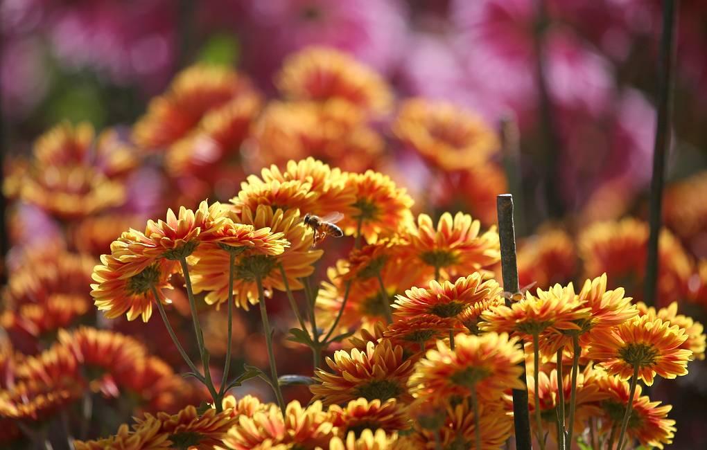 """YALTA, CRIMEA, RUSSIA – NOVEMBER 9, 2019: A chrysanthemum display at the Nikitsky Botanical Gardens. Sergei Malgavko/TASS Ðîññèÿ. ßëòà. Âî âðåìÿ âûñòàâêè õðèçàíòåì ïîä îòêðûòûì íåáîì """"Áàë õðèçàíòåì"""" â Íèêèòñêîì Áîòàíè÷åñêîì ñàäó. Íà âûñòàâêå ïðåäñòàâëåíû îêîëî 50 òûñÿ÷ õðèçàíòåì, îíà îñíîâàíà â 1953 ãîäó. Ñåðãåé Ìàëüãàâêî/ÒÀÑÑ"""