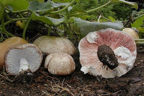 1200px-Agaricus_subrufescens (1)