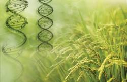 КЛЮЧ К РАЗВИТИЮ. НАЙДЕНЫ УЧАСТКИ ДНК, ОТВЕЧАЮЩИЕ ЗА ВЫРАБОТКУ «ГОРМОНА РОСТА» У РАСТЕНИЙ